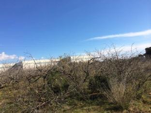 Vista de los viejos árboles frutales que serán limpiados