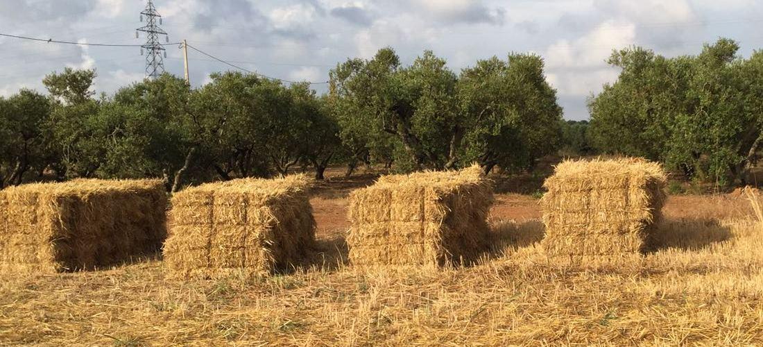 Exitosa cosecha de los cultivos bioenergéticos