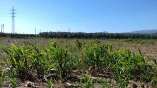Estado actual del cultivo del sorgo en la Cooperativa de Cambrils